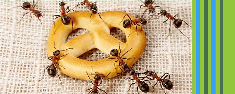 Professional Ant Pest Control Service